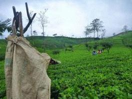 histoire du thé de ceylan